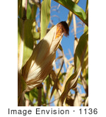 #1136 Picture Of Yellow Corn On A Cob In A Field