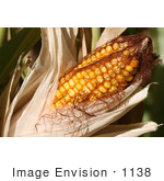 #1138 Picture Of Sweet Corn On The Cob