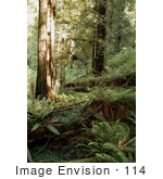 #114 Stock Image Of The Redwood Forest