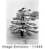 #11444 Picture Of A Cedar Tree In Snow
