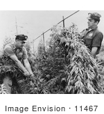 #11467 Picture of Men in a Marijuana Crop by JVPD