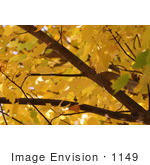 #1149 Picture Of A Tree With Yellow Leaves