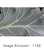 #1152 Picture of a Gray Ornamental Cabbage Leaf by Kenny Adams