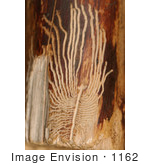 #1162 Picture Of European Elm Bark Beetle Trails On Wood