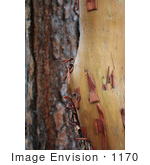 #1170 Photograph of a Pacific Madrone (Arbutus menziesii) and a Ponderosa Pine (Pinus ponderosa) by Jamie Voetsch