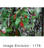 #1176 Photo Of Red Honeysuckle (Lonicera Ciliosa) Berries In Autumn