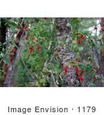 #1179 Photograph Of Red Honeysuckle (Lonicera Ciliosa) Berries In Autumn