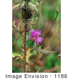 #1186 Image of Purple Thistle by Jamie Voetsch