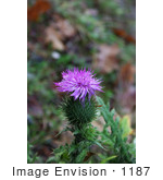 #1187 Image of Bull Thistle by Jamie Voetsch