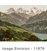 #11879 Picture Of Cows Near Lake Thun Switzerland