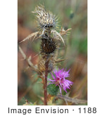 #1188 Image of Spear Thistle by Jamie Voetsch