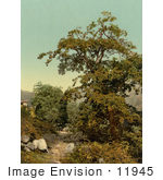 #11945 Picture Of A Chestnut Tree Giornico Switzerland