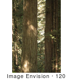 #120 Stock Photograph Of Redwood Trees In A Forest