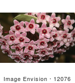 #12076 Picture Of Pink Hoya Flowers With Waterdrops