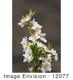 #12077 Picture of a Sprig of White Plum Blossoms by Jamie Voetsch
