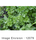 #12079 Picture Of Curly Parsley