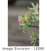 #12080 Picture of Pink Apple Blossoms by Jamie Voetsch