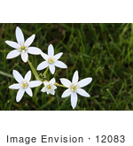 #12083 Picture of Star of Bethlehem Flowers by Jamie Voetsch