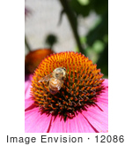 #12086 Picture Of A Bee On Coneflower