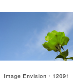 #12091 Picture Of A Green Rose Against Blue Sky