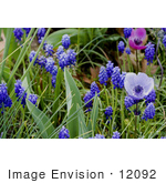 #12092 Picture of a Grape Hyacinth Patch With Anemone Flowers by Jamie Voetsch