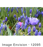 #12095 Picture of Grape Hyacinths and Anemone Flowers by Jamie Voetsch