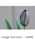 #12096 Picture of a Queen of Night Tulip Bud by Jamie Voetsch