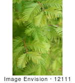 #12111 Picture Of Dawn Redwood Branches