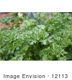 #12113 Picture Of A Curly Parsley Plant