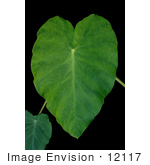 #12117 Picture of an Elephant Ear Plant by Jamie Voetsch