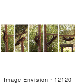 #12120 Picture of Ocelot Climbing Positions by Jamie Voetsch
