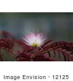 #12125 Picture Of A Pink Mimosa Flower