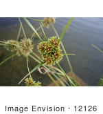 #12126 Picture of an Aquatic Sedge Plant by Jamie Voetsch