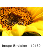 #12130 Picture of a Bee on Sunflower by Jamie Voetsch