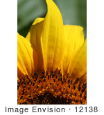 #12138 Picture of an American Giant Sunflower by Jamie Voetsch