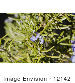 #12142 Picture of Rosemary Blossoms and Buds by Jamie Voetsch