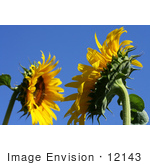 #12143 Picture Of American Giant Sunflowers