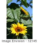 #12145 Picture Of Two American Giant Sunflowers