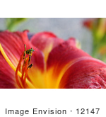 #12147 Picture Of A Ladybug On A Chicago Daylily
