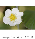#12153 Picture Of A Strawberry Blossom