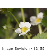 #12155 Picture Of A White Strawberry Blossom