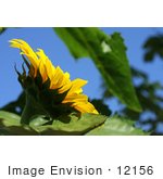 #12156 Picture of an American Giant Sunflower by Jamie Voetsch
