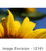 #12161 Picture of an American Giant Sunflower Petals by Jamie Voetsch