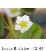 #12164 Picture of a Strawberry Blossom by Jamie Voetsch