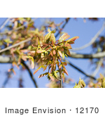 #12170 Picture of Maple Helicopter Seeds by Jamie Voetsch