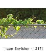 #12171 Picture of a Virginia Creeper Vine by Jamie Voetsch