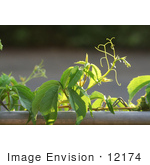 #12174 Picture of a Virginia Creeper by Jamie Voetsch