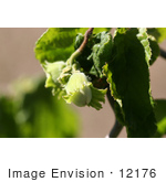#12176 Picture Of A Corkscrew Hazel