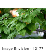 #12177 Picture of a Catalpa Tree by Jamie Voetsch
