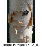 #12181 Picture of a Peeling Jacquemontii Birch by Jamie Voetsch